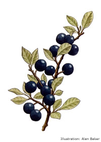 Sloe Down For Winter Gintime